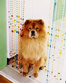 Chow Chow in Kitchen Doorway
