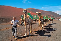 Camels in Timanfaya National Park Lanzarote