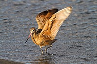 Wings of a Marbled Godwit- shorebird along California coast, USA