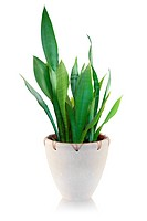 House plant on white background _ Sansevieria