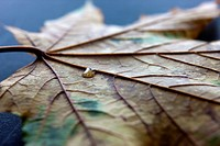 A close up of a water drop on a dried maple leaf