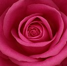 Beautiful open pink rose bloom, romantic