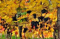 vine, ripe grapes, autumn, Wachau, Austria
