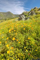 Bright golden poppies and the green spring hills of Figueroa Mountain near Santa Ynez and Los Olivos, CA