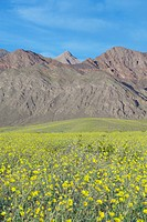 Mountain view and spectacular desert gold and various spring flowers south of Furnace Creek in Death Valley National Park, CA