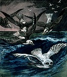Snowy Owl Pursued by SeagullsHand_Colored Engraving, Circa 1910