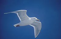Seagull flying over Marthas Vineyard, MA