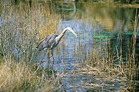Heron in swamp, Assateague National Wildlife Refuge, MD