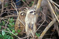 Two raccoons in wild, Everglades National Park, 10,000 Island, FL