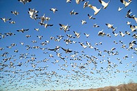 Thousands of snow geese fly against blue sky over the Bosque del Apache National Wildlife Refuge, near San Antonio and Socorro, New Mexico