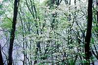 Dogwood in bloom, great Smokey Mountain National Park, Foothill Parkway, TN