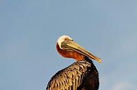 Pelicans are a genus of large water birds comprising the family Pelecanidae  Virgin Gorda Island  British Virgin Islands.