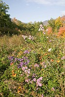 Flowers bloom along Crawford Notch, New Hampshire