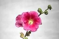 Pink hollyhock bloom