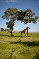 Giraffe in grasslands of Masai Mara near Little Governors camp in Kenya, Africa