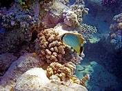 Fish swimming near coral reef.Underwater photo.