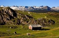 Cows in Plan de Beret,Aran Valley,Pyrenees, Lleida province, Catalonia, Spain