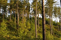 young Birch trees under a pines plantation, Forest of Rambouillet, Yvelines department, Ile-de-France region, France, Europe
