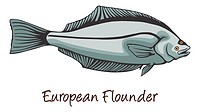 European Flounder, Color Illustration