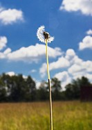 Dandelion that is blowing away against a blue sky.