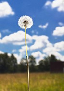 Dandelion against a bright blue sky.