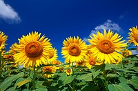 Close up of sunflowers and blue sky with clouds