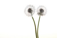 Close up of Dandelions against white background
