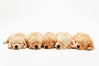 The puppies of the golden retriever