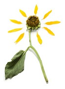 Close_up of a dead sunflower