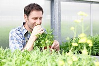 Germany, Bavaria, Munich, Mature man smelling rocket plants in greenhouse