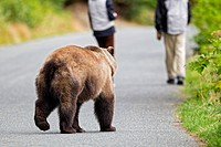USA, Alaska, Brown bear chasing tourist
