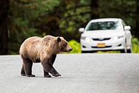 USA, Alaska, Brown bear crossing road in front of car