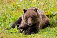 USA, Alsaka, Brown bear on meadow near Chilkoot Lake