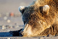 USA, Alaska, Brown bear at Lake Clark National Park and Preserve