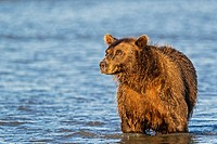 USA, Alaska, Brown bear watching for salmons in Silver salmon creek at Lake Clark National Park and Preserve