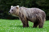 USA, Alaska, Young brown bear at Lake Clark National Park and Preserve