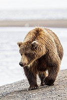 USA, Alaska, Brown bear walking at Lake Clark National Park and Preserve
