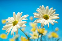 Close_up of daisies against a blue background