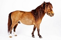 Miniature horse against white background.
