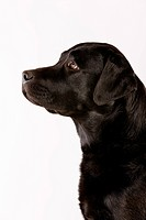 Black Labrador, side view