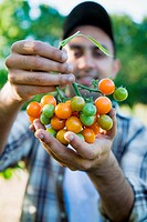 Farm worker holding Sunsugar cherry tomatoes