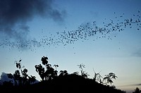Bats, near Kuta, Lombok, Indonesia, Southeast Asia, Asia