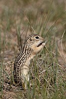 Thirteen_lined ground squirrel Citellus tridecemlineatus feeding, Pawnee National Grassland, Colorado, United States of America, North America