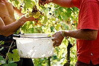 two men picking grapes off vine