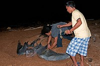 Applying a tag to a Leatherback turtle Dermochelys coriacea at its nesting site, Shell Beach, Guyana, South America
