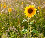 Sunflower (Helianthus annuus) on the edge of a field