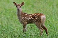 Sika Deer (Cervus nippon), fawn, deer park, Bavaria, Germany, Europe