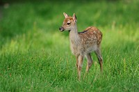 Sika Deer Cervus nippon, fawn, wildlife park, Bavaria, Germany, Europe
