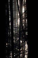 Close_up silhouettes of tree trunks in a forest