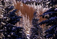High angle view of snow covered pine trees in a forest